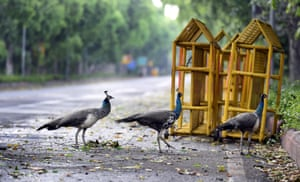 Peahens seen on Motilal Nehru Marg during lockdown in New Delhi, India, on 19 April.