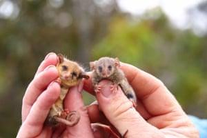 Small dwarf cuscus (right) and western dwarf cuscus (left), found on Kangaroo Island.