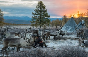 A woman milks a reindeer in the nomadic tribe's settlement
