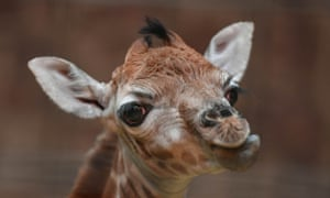 The Rothschild's giraffe calf, born at Chester zoo on Boxing Day