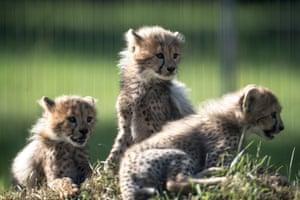 Prague, Czech RepublicCheetah cubs born eleven weeks ago play in their acclimatization enclosure at the city zoo