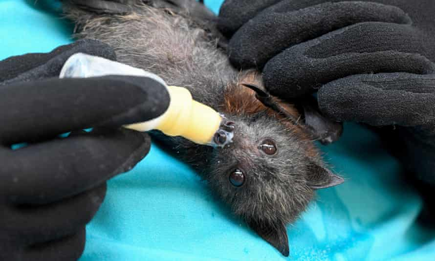A grey-headed flying fox rescued from bushfires in the Blue Mountains in January 2020.