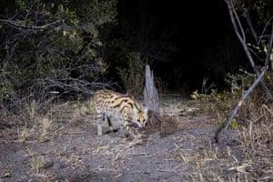 A serval