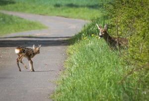 A deer waits for its fawn to cross a road near Muecke, western Germany