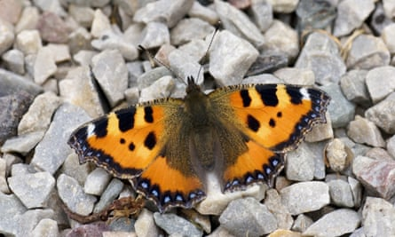 The erratic cold spells could be a factor in the dearth of small tortoiseshells this year.