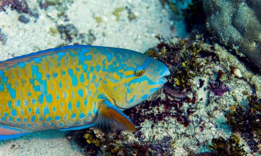 A blue-barred parrotfish feeding on a tropical coral reef