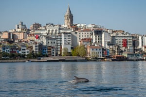 A dolphin swims in the Bosphorus by Istanbul's Galata tower, where boat traffic has nearly come to a halt as the city of 16 million has been under lockdown since 23 April.
