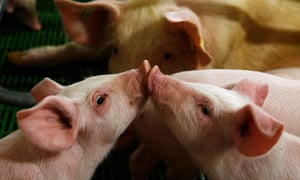 Piglets on a farm in a village near Warsaw.