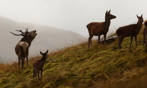 A roaring rutting stag chases hinds to keep them together. Glenfalloch Estate, Inverarnan.