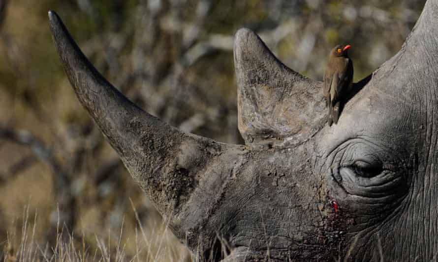 A bird sitting on the head of a white rhino at Kruger National Park  in South Africa.