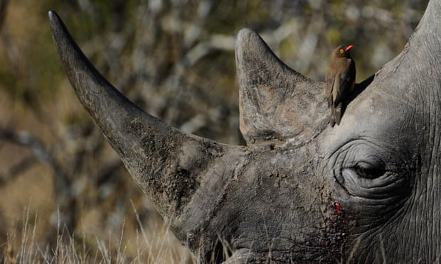 POLL:  Can legalised trade save Africa's last rhinos from poaching?