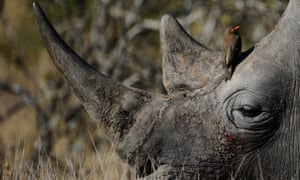 An endangered white rhino at Kruger National Park, in 2010.