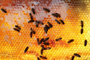 Bees on a honeycomb cell