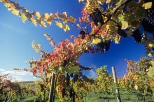 Grapes on vines in vineyard, Yarra Valley, Victoria, Australia