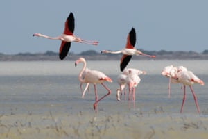 Greater flamingos gather on a salt lake in the Sovereign Base Area of Akrotiri, a British overseas territory on Cyprus