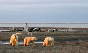 Polar bears on the Beaufort Sea coast. The 19m-acre refuge in north-east Alaska, known as ANWR, is a wellspring for wildlife.