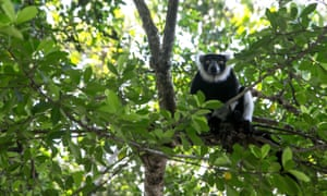 Pictured is a lemur on a tree branch in eastern Madagascar, a country where forest conservation can result in local costs, says scientist Julia P G Jones