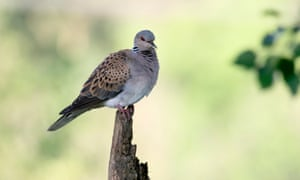 Turtle doves have long been a feature of English summers.