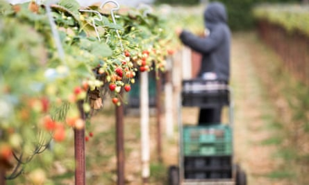 a farmworker picks raspberries