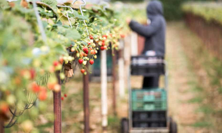 A fruit picker picks strawberries at a fruit farm in Hereford in 2018.
