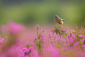 Recent heathland restoration has helped Dartford warblers. These resident insectivores also appear to be one of the species to have benefitted from climate change in the UK