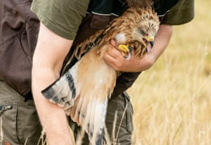 An animal keeper from Eekholt wildlife park prepares to release a red kite back into the wild.