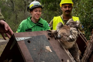Forest and wildlife officer Emily Cordy releases the mother and joey back into the wild in the Colquhoun state forest. They were found in an area near Gelantipy that was partially destroyed by bushfires.