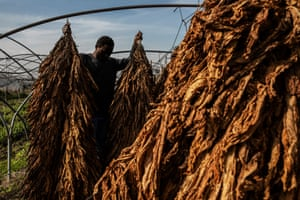 A tobacco worker in a field near Caserta