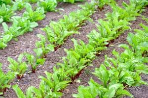 Rows of young beetroot Moneta seedlings (Beta vulgaris subsp. vulgaris) growing in late spring
