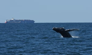 A humpback whale breaches in New York Bight, one of the busiest waterways in the world.