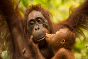 Orangutans are the best known animals in Tanjung Puting. The park was declared a national park in 1982.