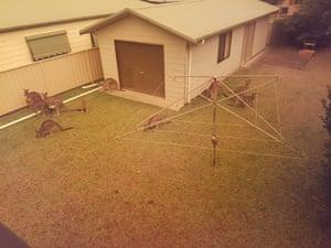 Kangaroos gather on a home's lawn in Berrara Beach, NSW