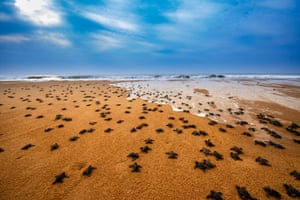 Photographer of the Year shortlisted: The olive journey by Saurabh Chakraborty in Rushikulya, Odisha, India Almost every year in Rushikhulya, one of the most spectacular events in nature takes place. Thousands of Olive Ridley sea turtles come to this coastal region to lay eggs