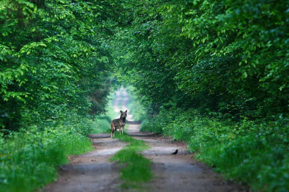 Both Białowieża and Biebrza are home to several wolf packs