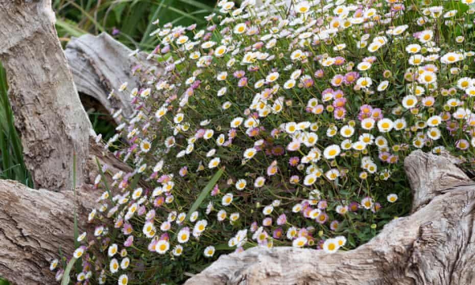 Erigeron karvinskianus, allium 'Globe Master', ferns and bracken.