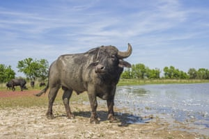 A water buffalo released on Ermakov Island by Rewilding Ukraine.