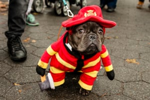 A dog dressed as a firefighter