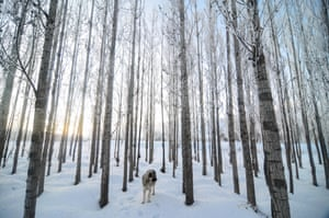 Tunceli, Turkey A dog is seen among ice covered trees during cold weather