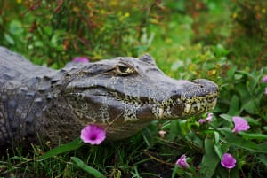 Look at me !A Caiman 'resting' among Campanulas in the marshes of the Iberá in Corrientes, Argentina