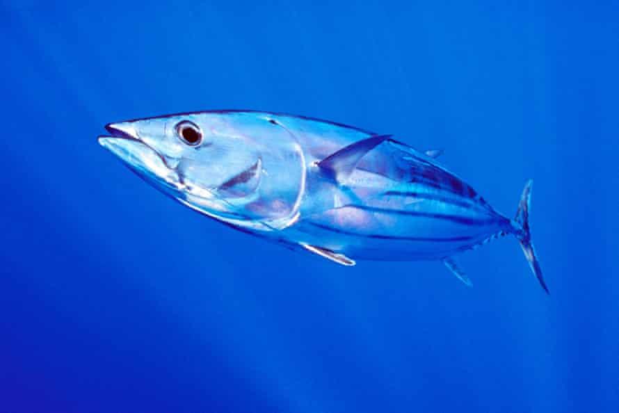 A Skip Jack tuna in the waters of Hawaii.