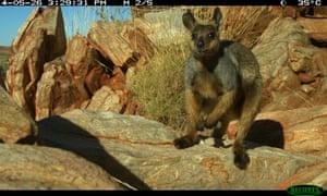 A black-flanked rock wallaby captured on sensor camera near Parnngurr in Western Australia in 2014.