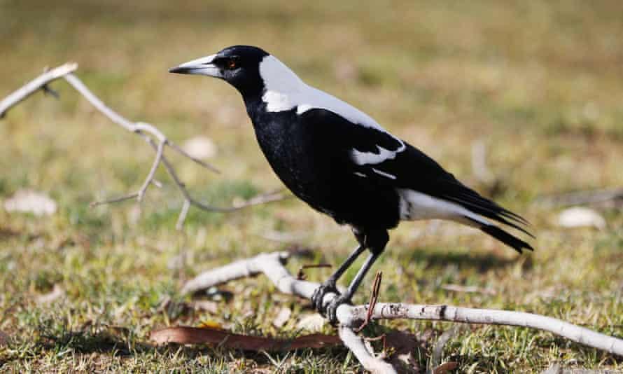 An Australian magpie