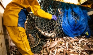 A fisherman handles a net full of fish in a trawler