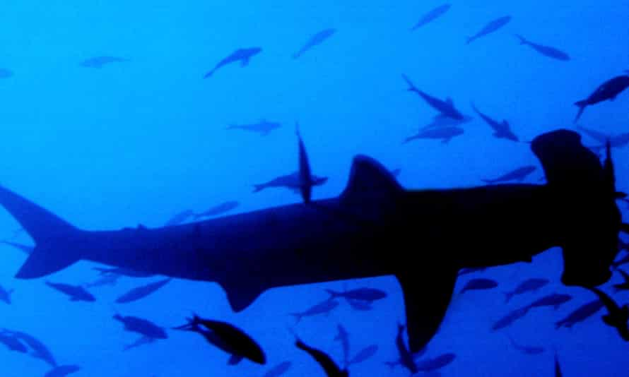 Hammerhead sharks forced the closure of Windang Beach in New South Wales.