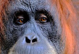 A female Sumatran orangutan in the rainforests of Gunung Leuser national park, northern Sumatra, Indonesia