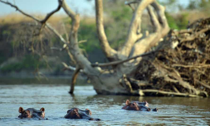 Hippopotamus wallow in shallows of Dungu river in the Garamba National Park