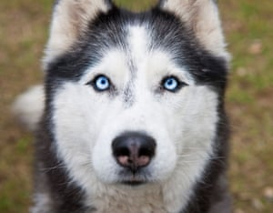 The 'silent fury who no torment could tame' … White Fang.