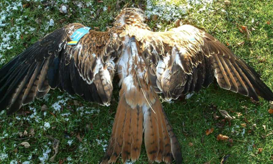 A red kite found poisoned near Cromdale in Morayshire.