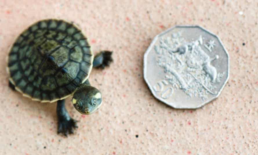 Hatchling Krefft's river turtle standing next to Australian 50cents coin , aerial view