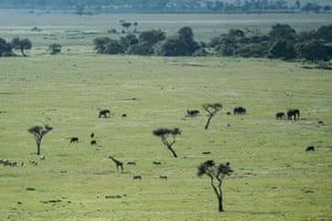 Elephants in the Mara Triangle, the north-western part of Masai Mara national reserve in southern Kenya